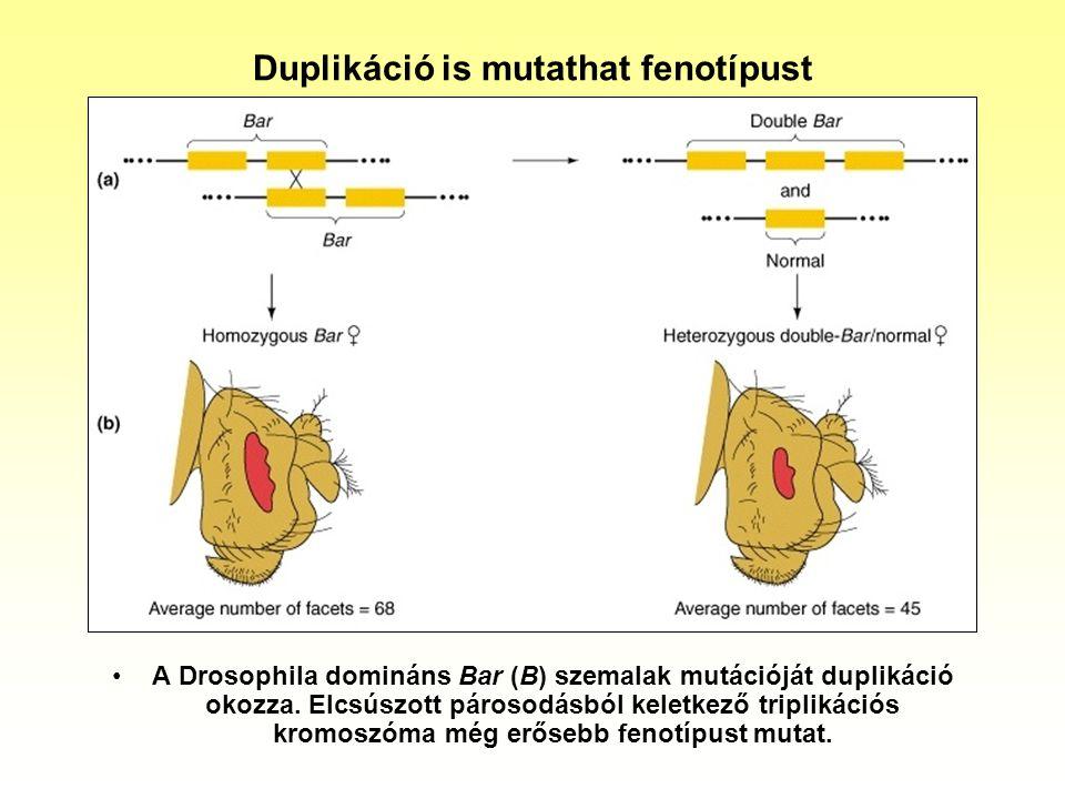 Duplikáció is mutathat fenotípust