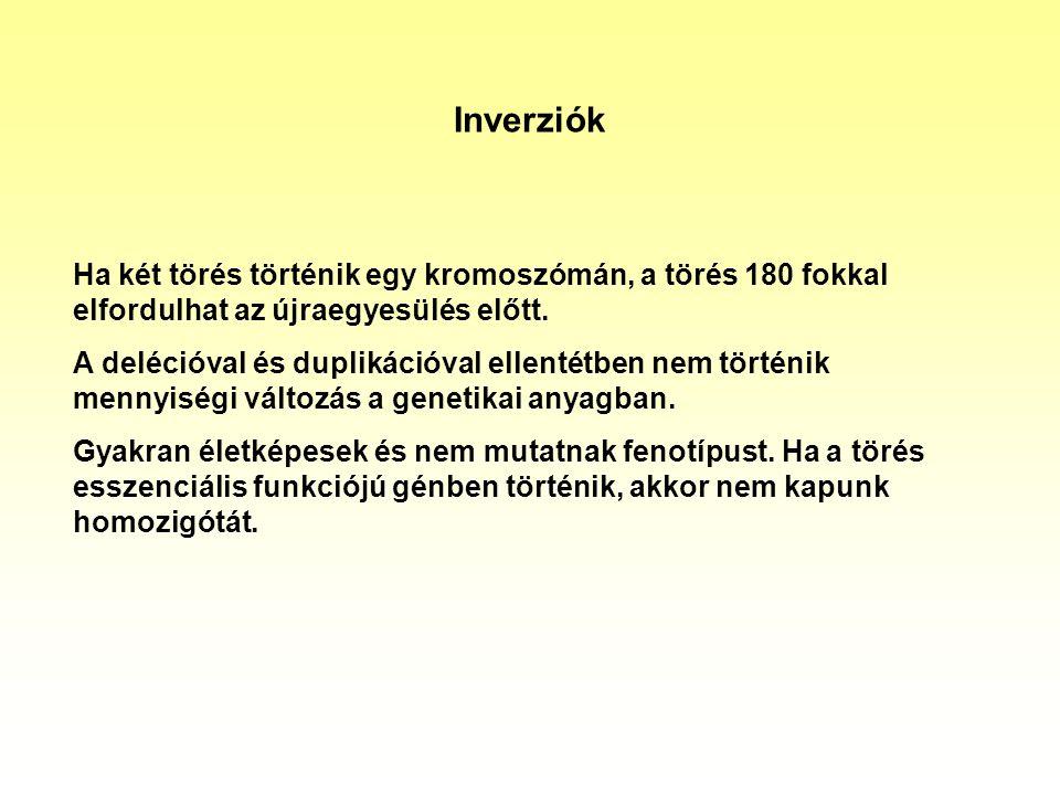 Inverziók Ha két törés történik egy kromoszómán, a törés 180 fokkal elfordulhat az újraegyesülés előtt.