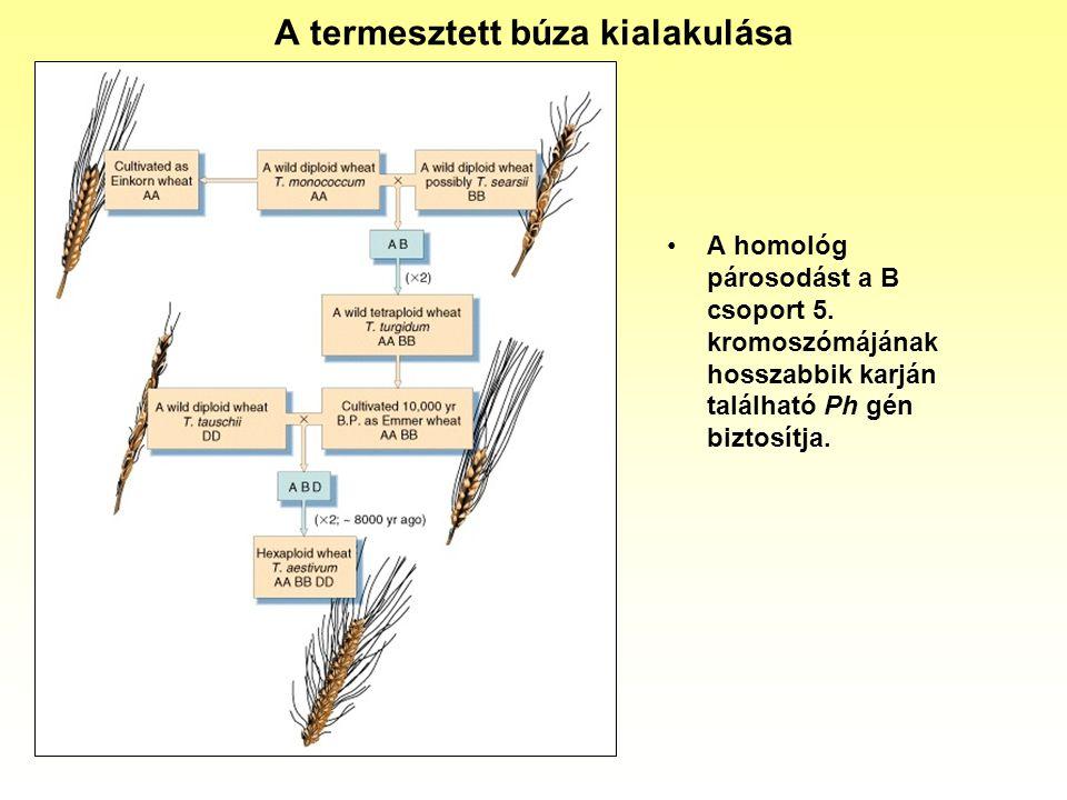 A termesztett búza kialakulása
