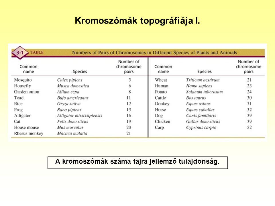 Kromoszómák topográfiája I.