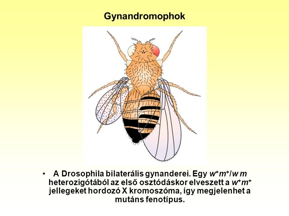 Gynandromophok