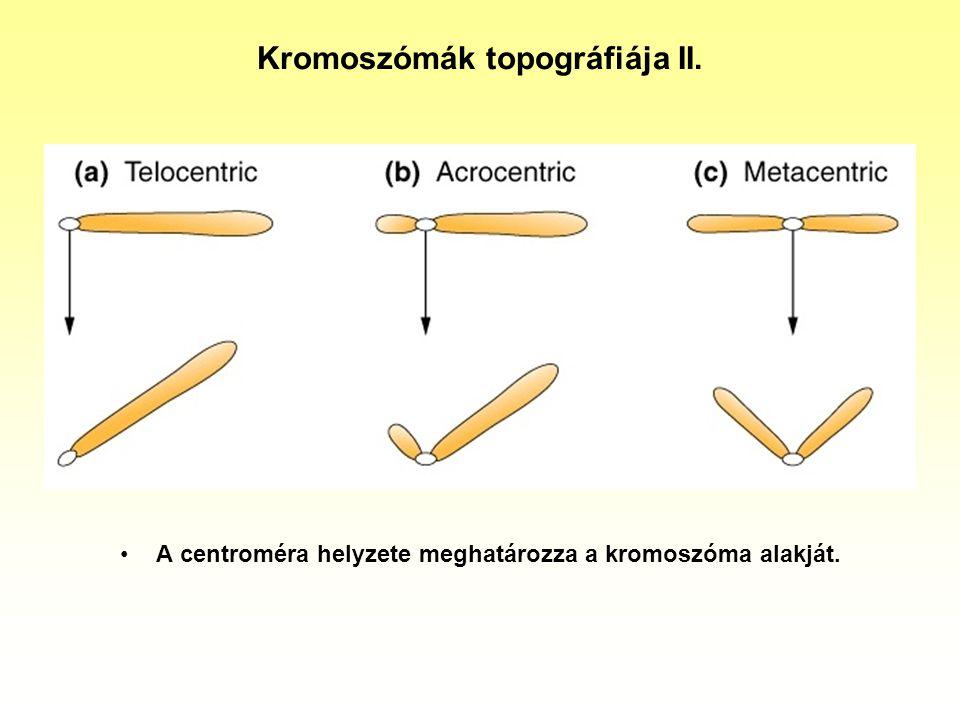 Kromoszómák topográfiája II.