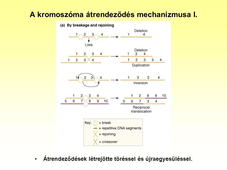 A kromoszóma átrendeződés mechanizmusa I.