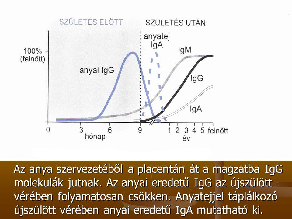 Az anya szervezetéből a placentán át a magzatba IgG molekulák jutnak