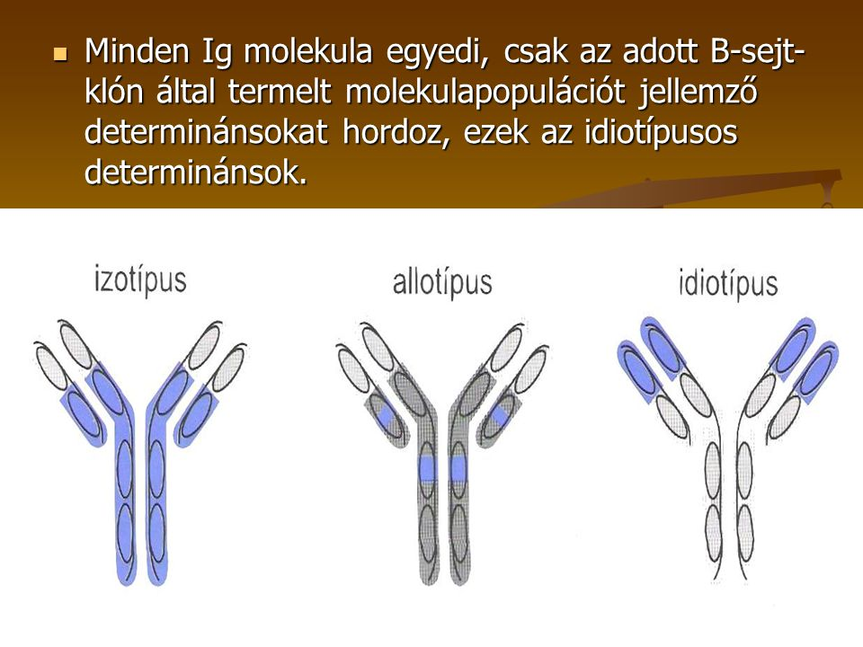 Minden Ig molekula egyedi, csak az adott B-sejt-klón által termelt molekulapopulációt jellemző determinánsokat hordoz, ezek az idiotípusos determinánsok.