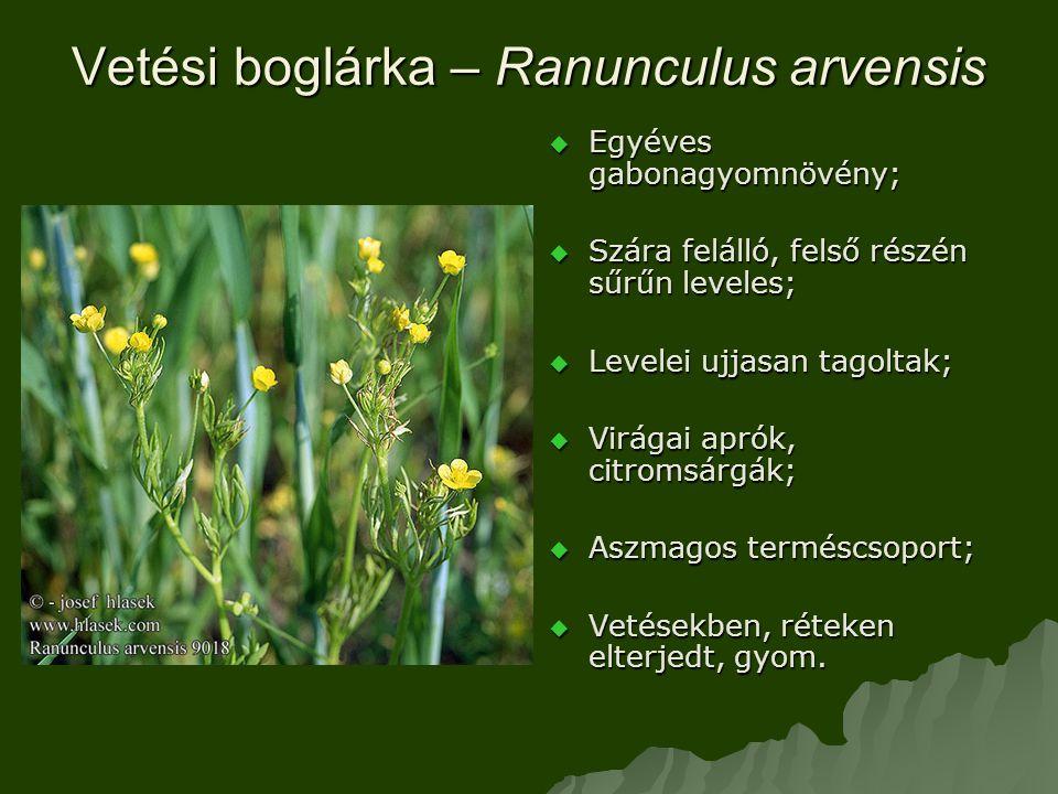 Vetési boglárka – Ranunculus arvensis