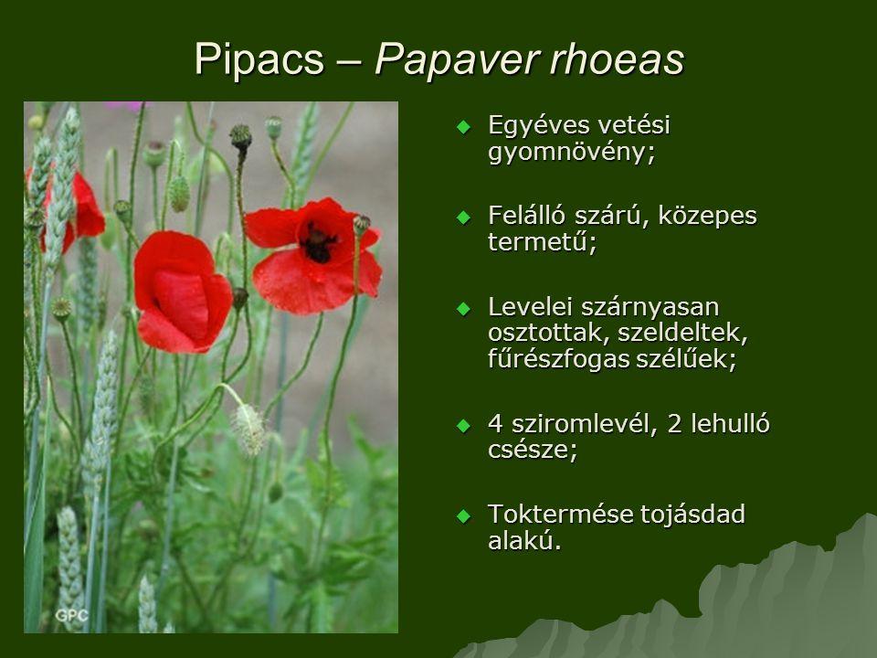 Pipacs – Papaver rhoeas