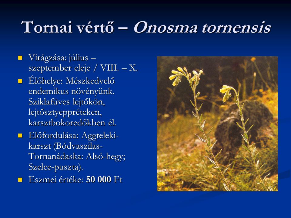 Tornai vértő – Onosma tornensis