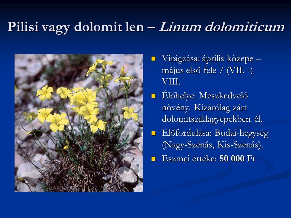 Pilisi vagy dolomit len – Linum dolomiticum