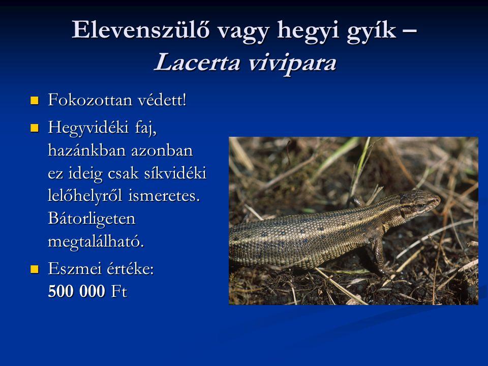Elevenszülő vagy hegyi gyík – Lacerta vivipara