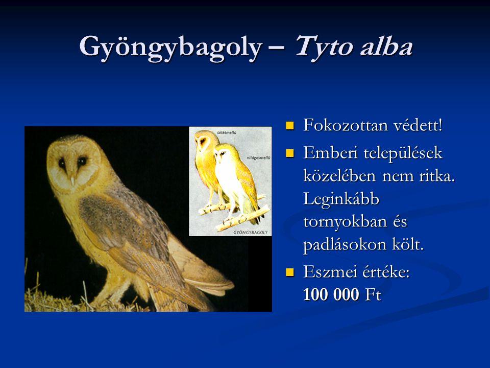 Gyöngybagoly – Tyto alba