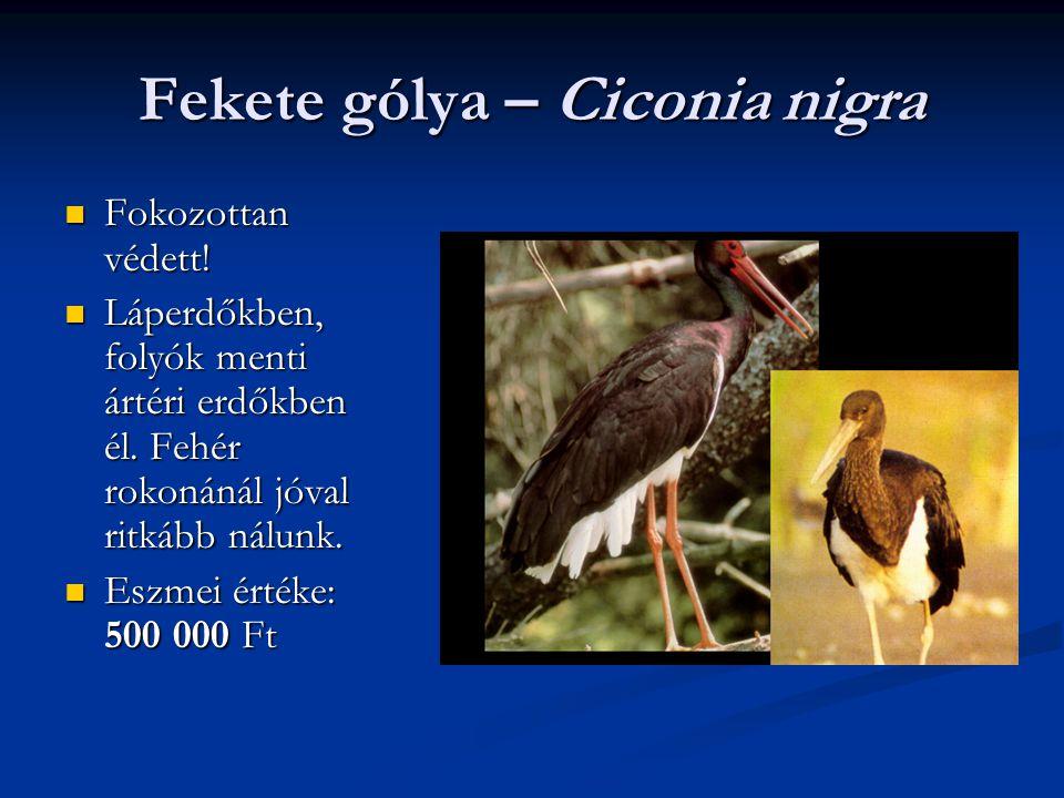 Fekete gólya – Ciconia nigra