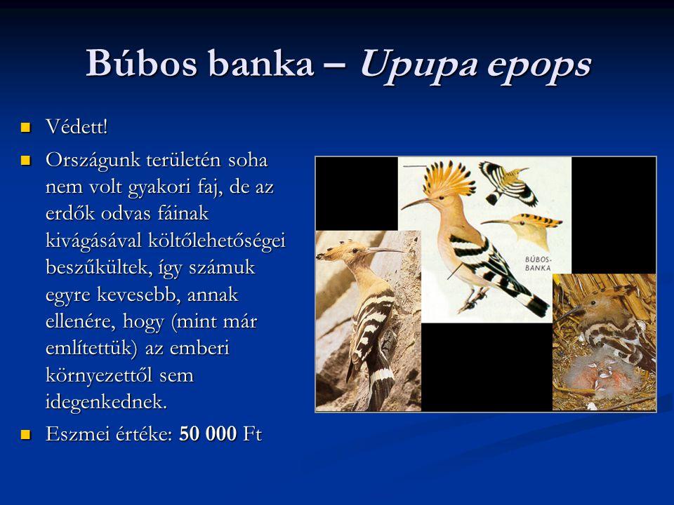 Búbos banka – Upupa epops