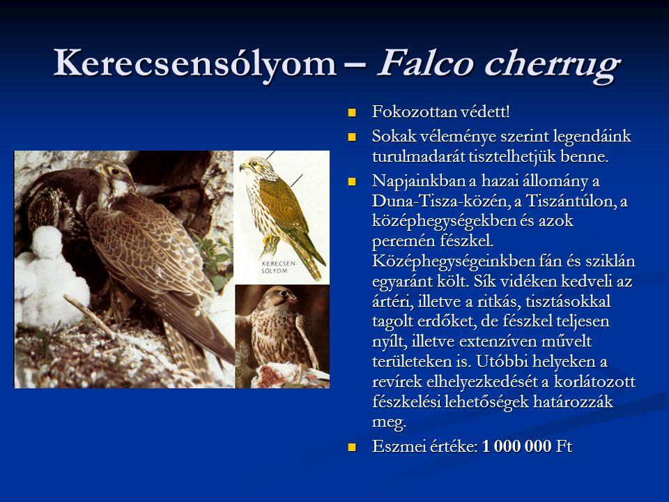 Kerecsensólyom – Falco cherrug