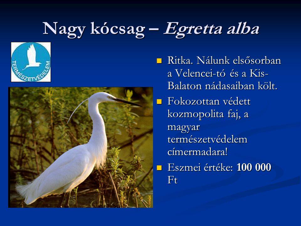 Nagy kócsag – Egretta alba