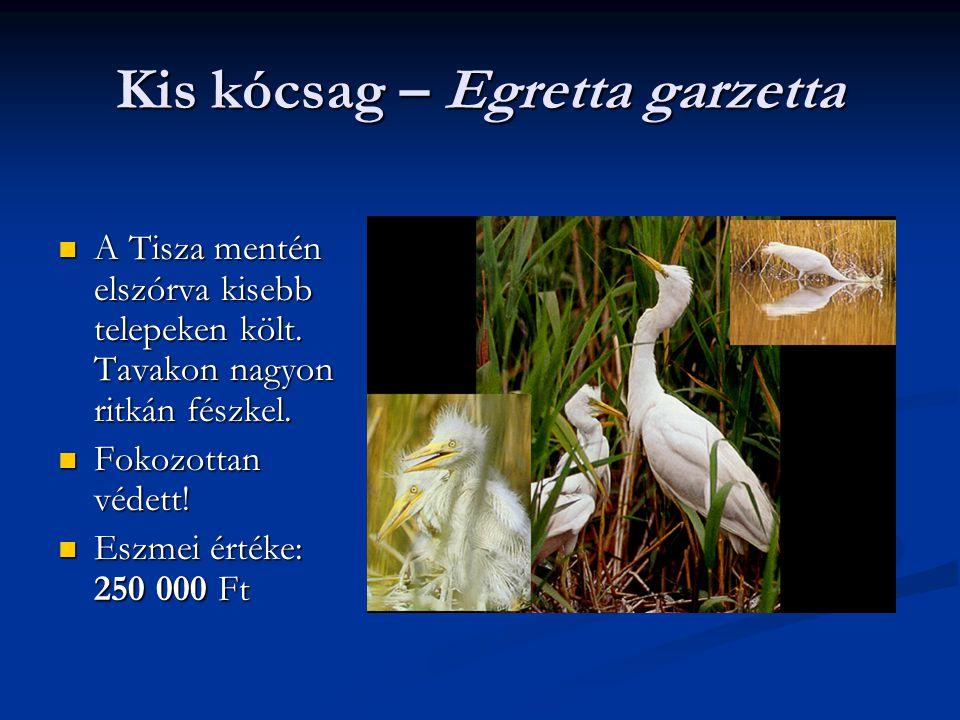 Kis kócsag – Egretta garzetta