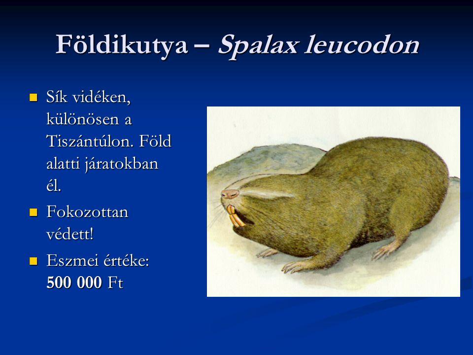 Földikutya – Spalax leucodon