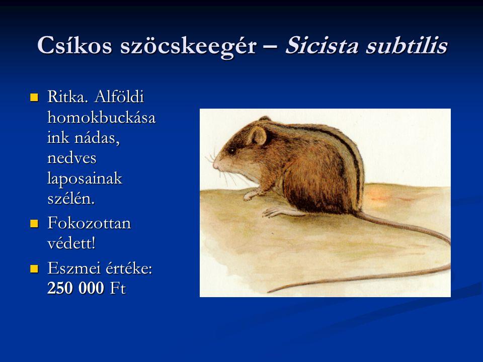 Csíkos szöcskeegér – Sicista subtilis