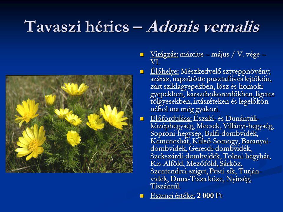 Tavaszi hérics – Adonis vernalis