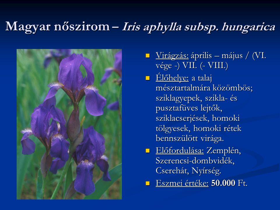 Magyar nőszirom – Iris aphylla subsp. hungarica