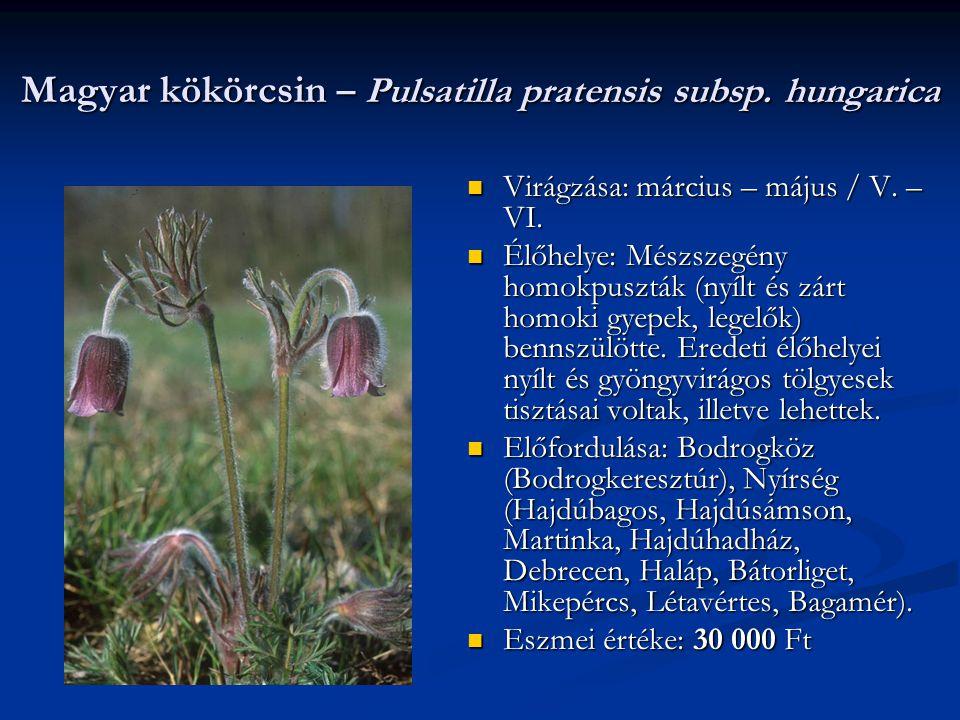 Magyar kökörcsin – Pulsatilla pratensis subsp. hungarica