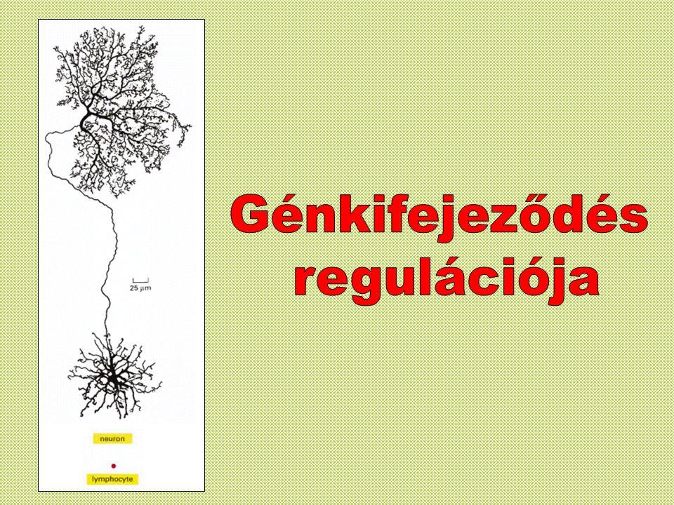 Génkifejeződés regulációja