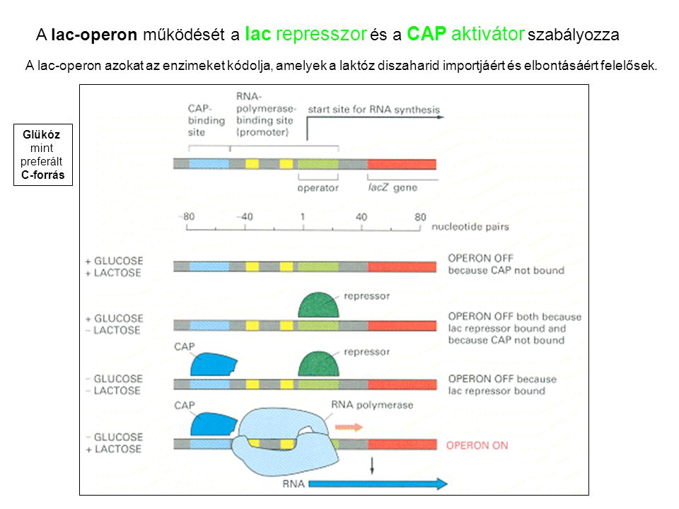 A lac-operon működését a lac represszor és a CAP aktivátor szabályozza