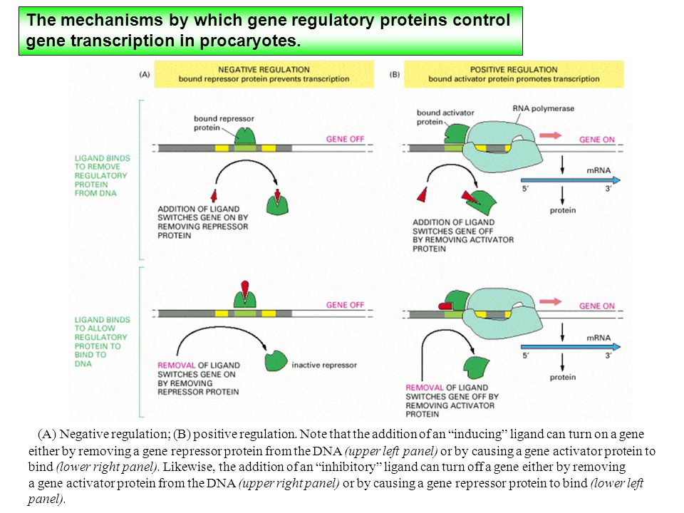 The mechanisms by which gene regulatory proteins control