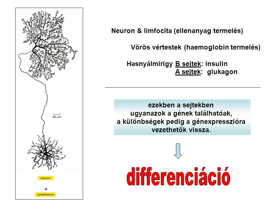 differenciáció Neuron & limfocita (ellenanyag termelés)