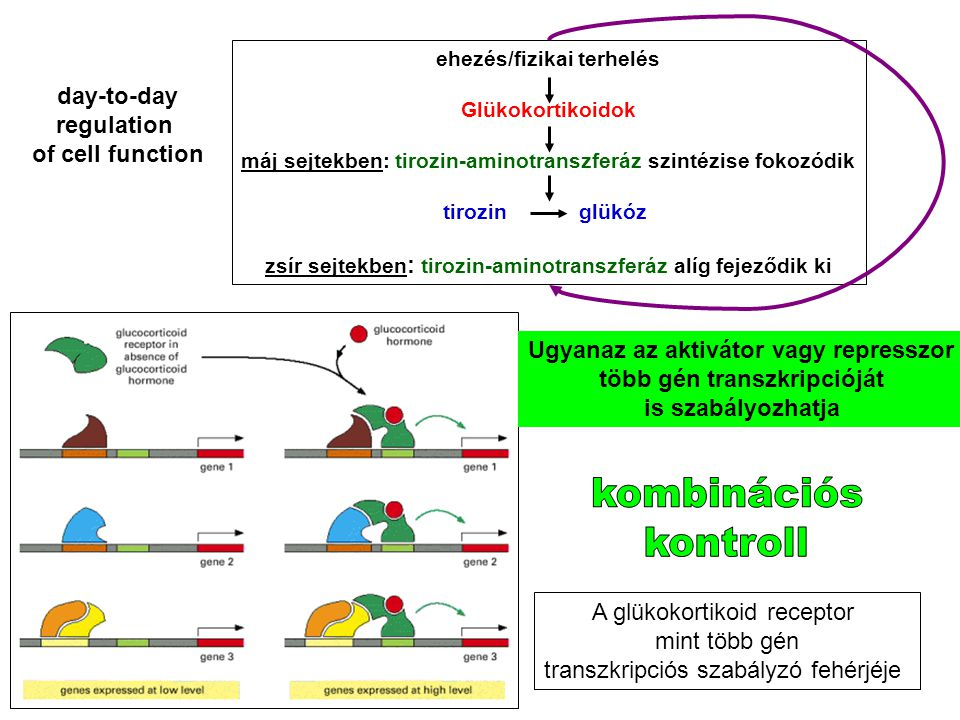 kombinációs kontroll day-to-day regulation of cell function