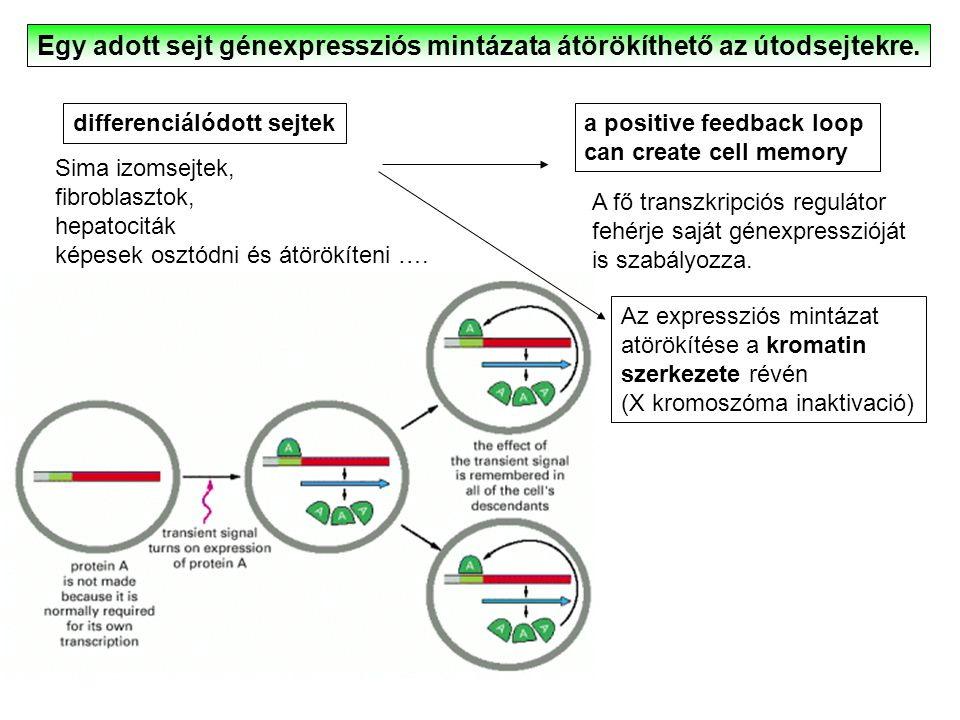 Egy adott sejt génexpressziós mintázata átörökíthető az útodsejtekre.