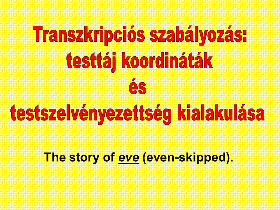 Transzkripciós szabályozás: testszelvényezettség kialakulása