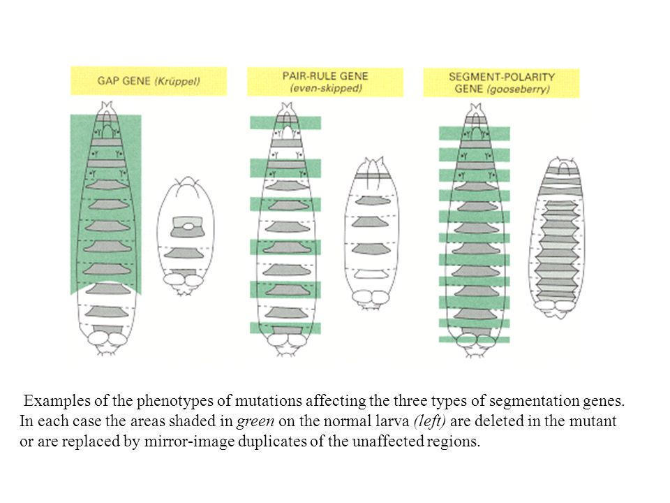 Examples of the phenotypes of mutations affecting the three types of segmentation genes.