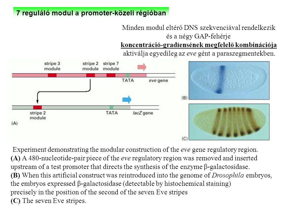 7 reguláló modul a promoter-közeli régióban