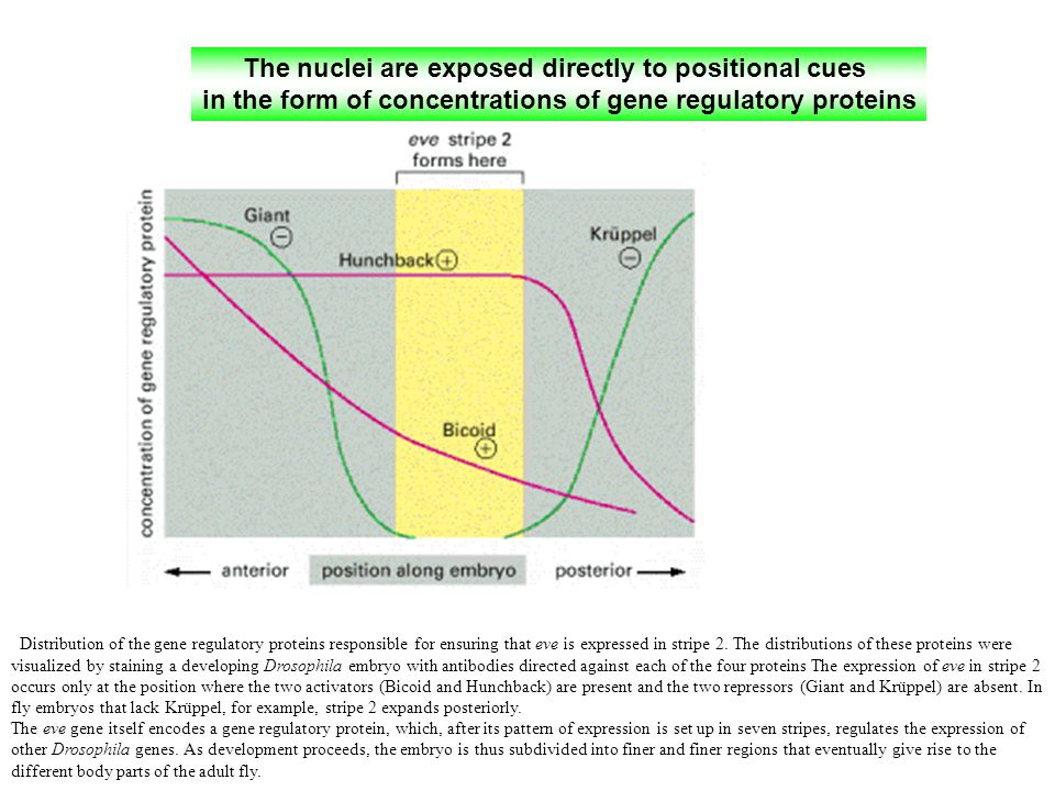 The nuclei are exposed directly to positional cues