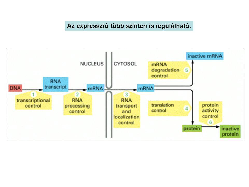Az expresszió több szinten is regulálható.