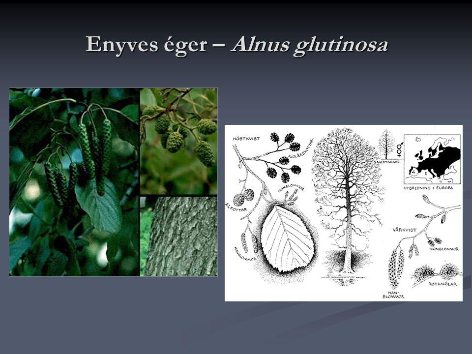 Enyves éger – Alnus glutinosa