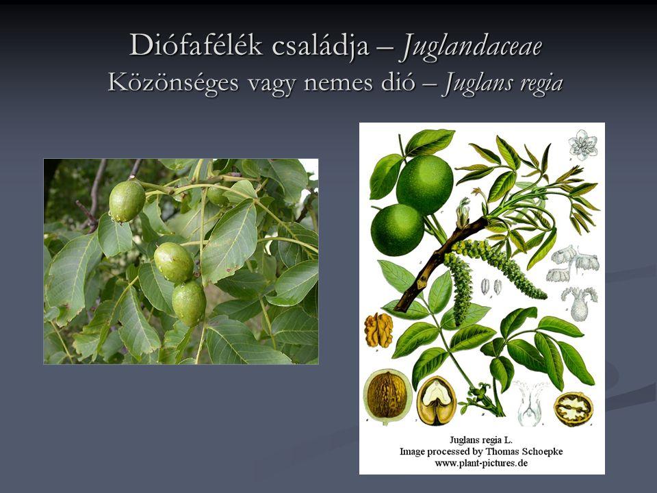 Diófafélék családja – Juglandaceae Közönséges vagy nemes dió – Juglans regia