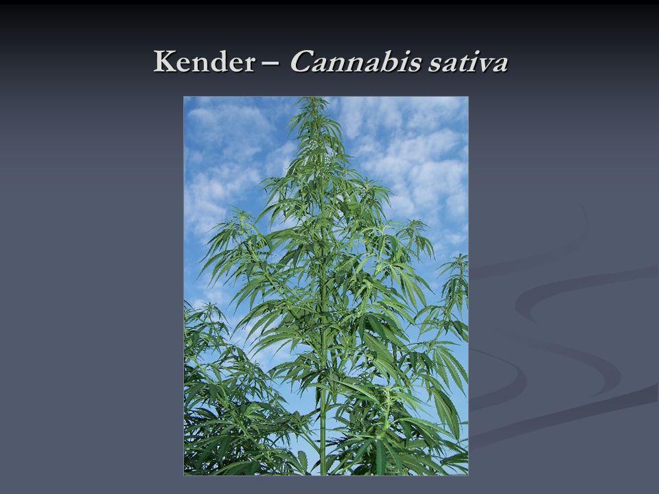 Kender – Cannabis sativa