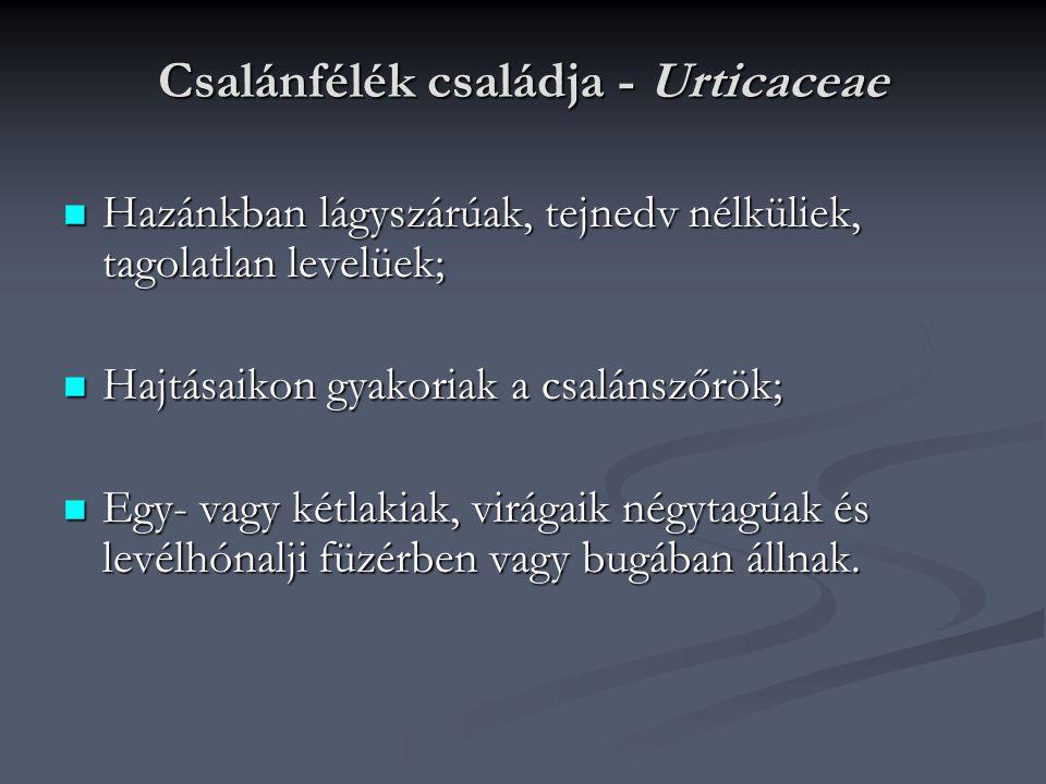 Csalánfélék családja - Urticaceae