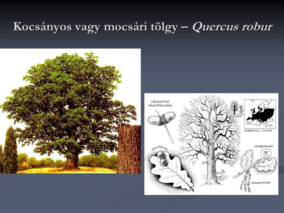 Kocsányos vagy mocsári tölgy – Quercus robur