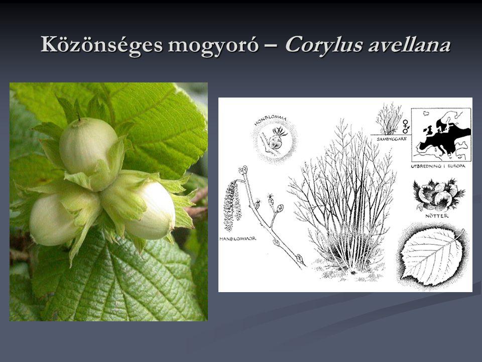 Közönséges mogyoró – Corylus avellana