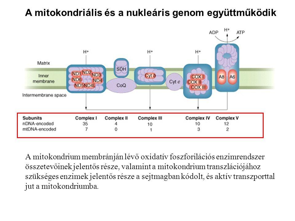 A mitokondriális és a nukleáris genom együttműködik