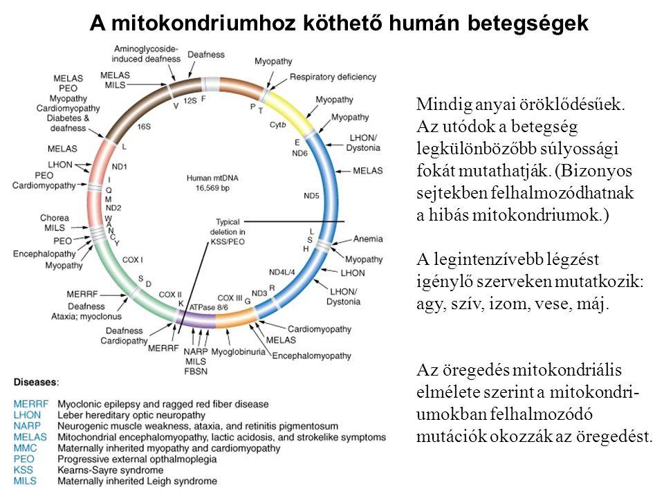 A mitokondriumhoz köthető humán betegségek
