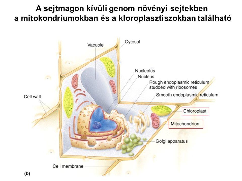 A sejtmagon kívüli genom növényi sejtekben