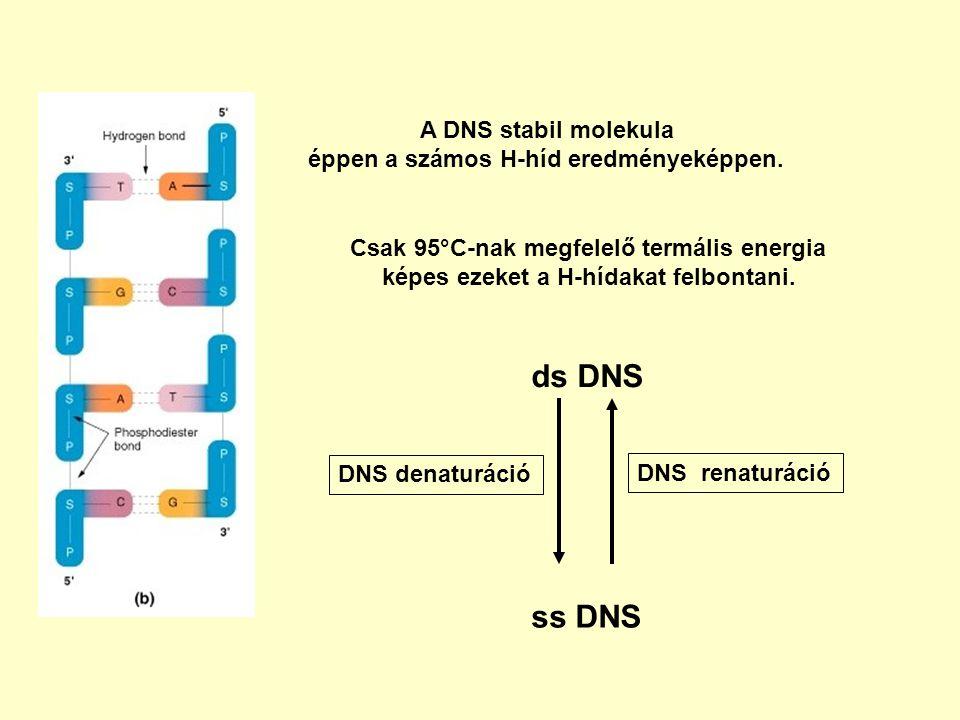 ds DNS ss DNS A DNS stabil molekula