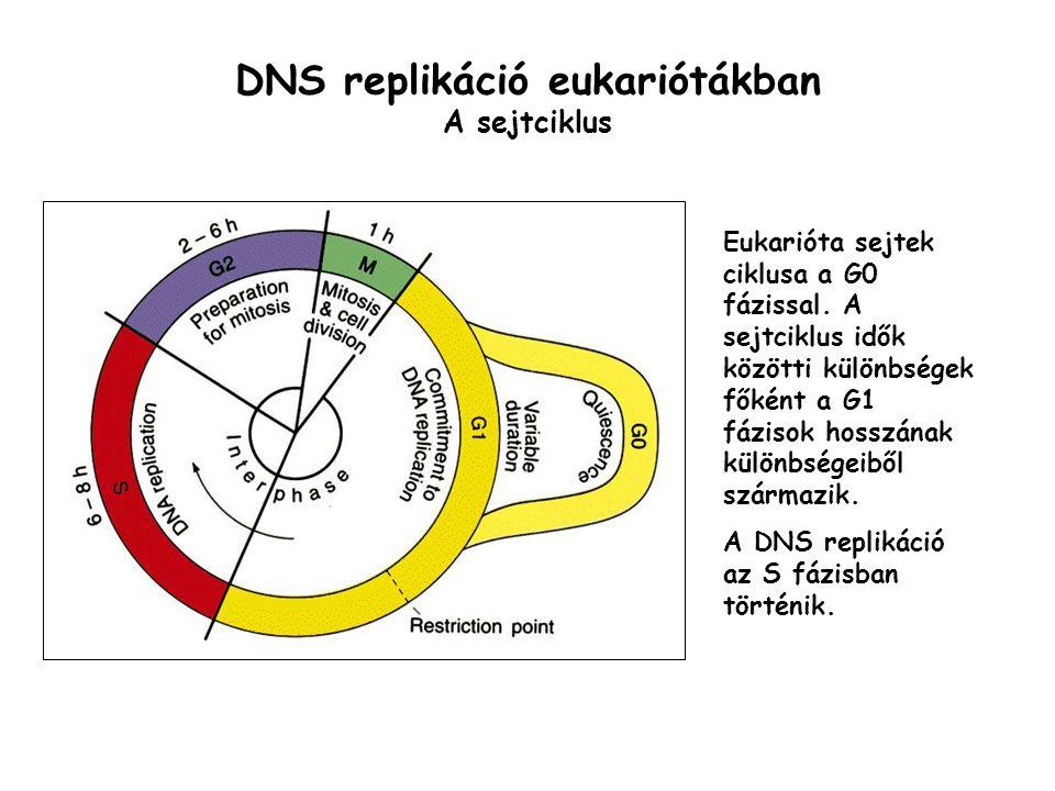 DNS replikáció eukariótákban A sejtciklus