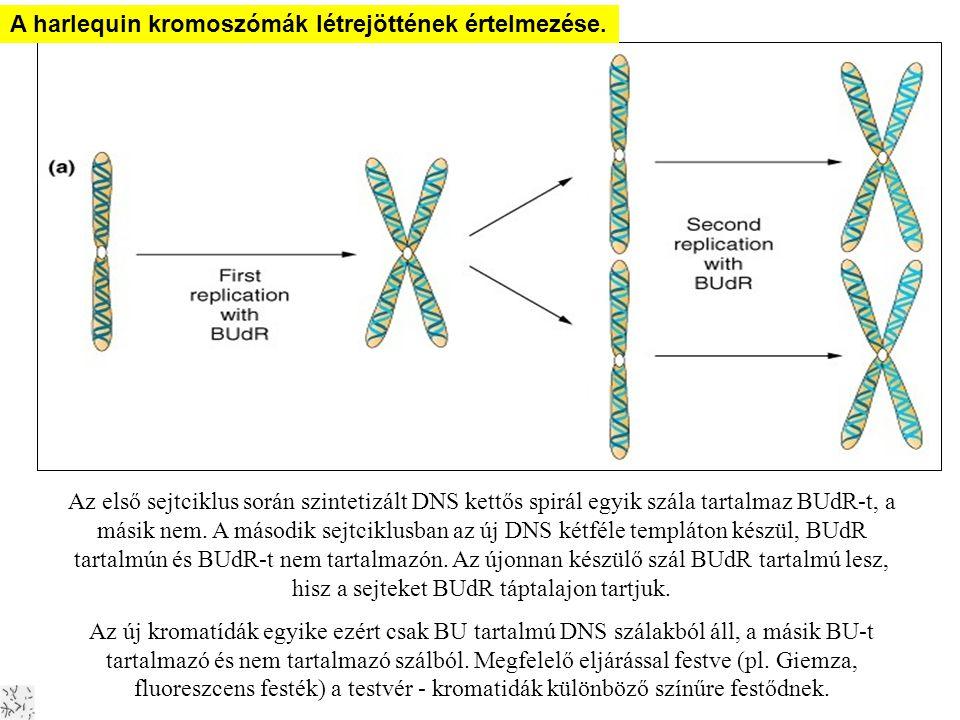 A DNS replikációja Harlekin kromoszómák