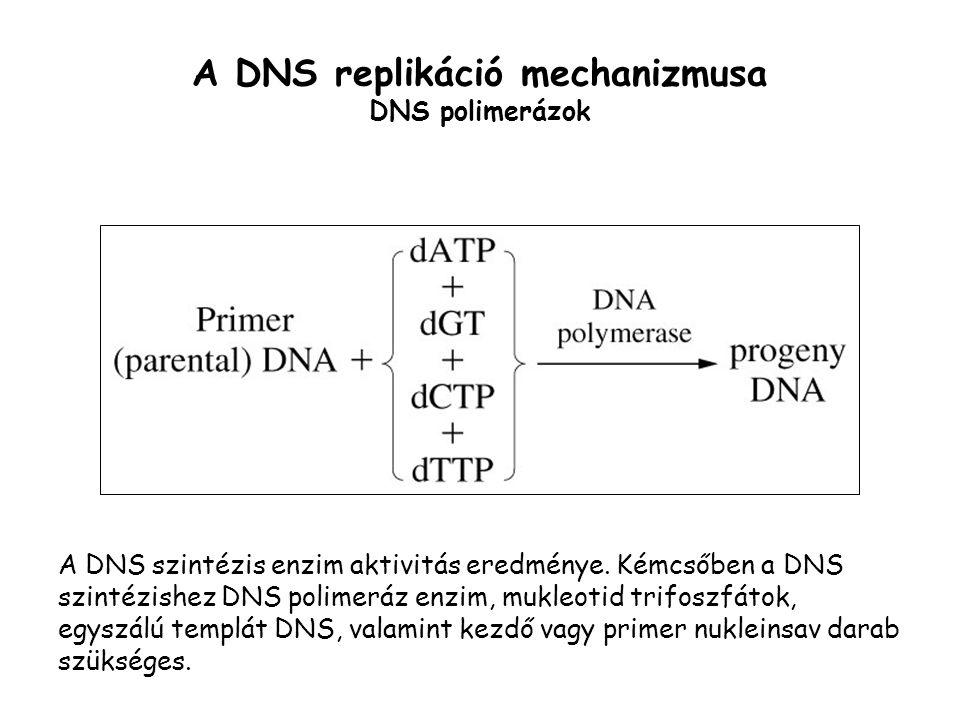 A DNS replikáció mechanizmusa DNS polimerázok
