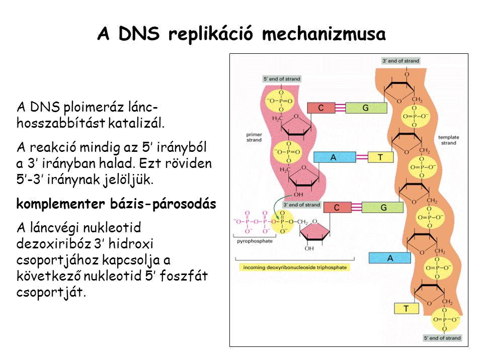 A DNS replikáció mechanizmusa